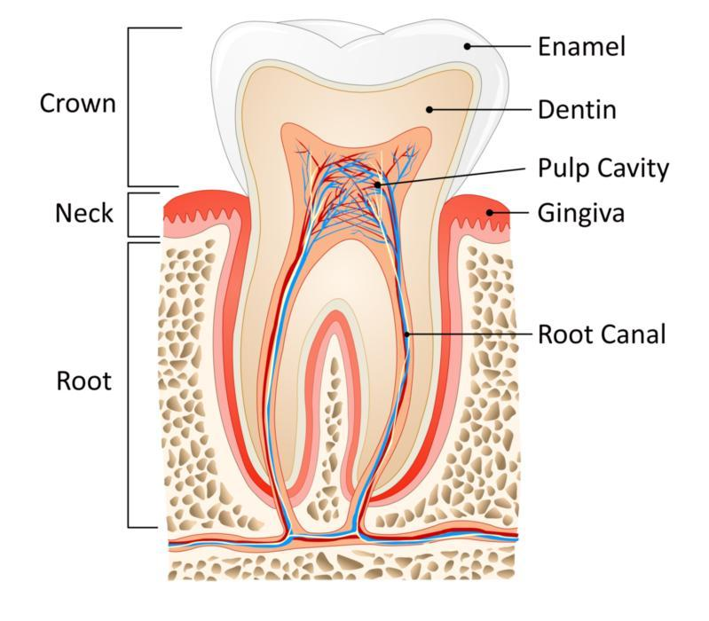 Image of the inside of a tooth